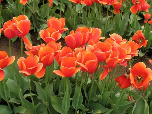 orangetulips.jpg