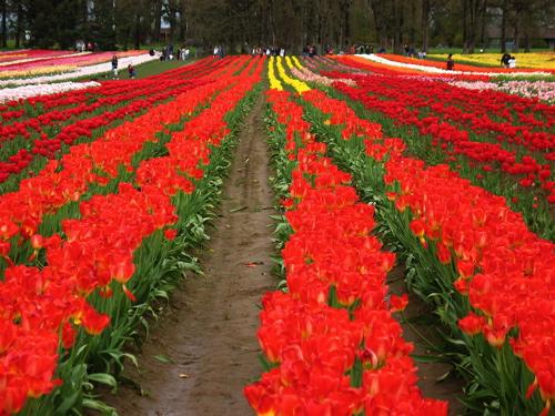 tulipfields8.jpg