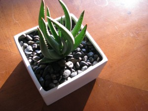 cssucculent