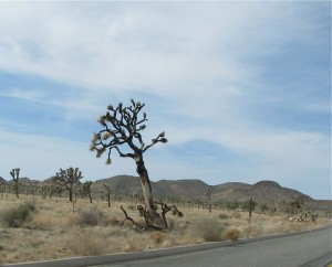 jtnpanotherburnedjoshuatree