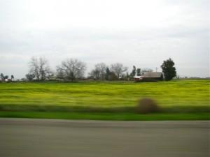mustardfield