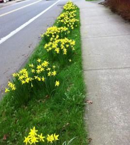 parkingstripdaffodils