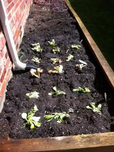 lettuceplants