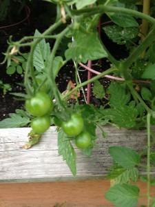 babytomatoes