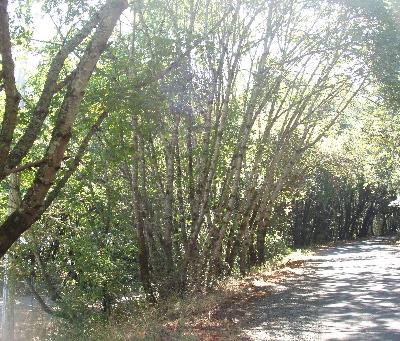 Birches_1
