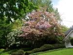 Dogwoodtrees_4