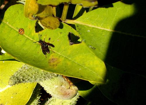 Octladybug