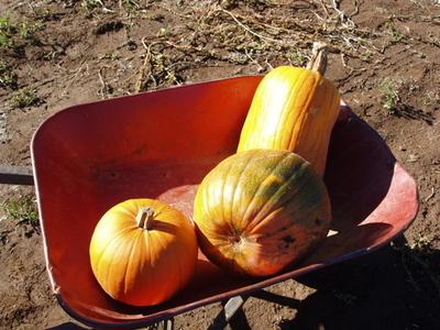 Pumpkinsinwheelbarrow