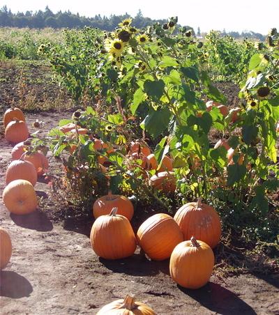 Pumpkinsnsunflowers