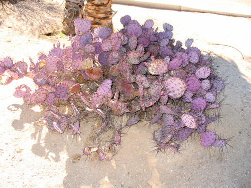purplecactus.jpg