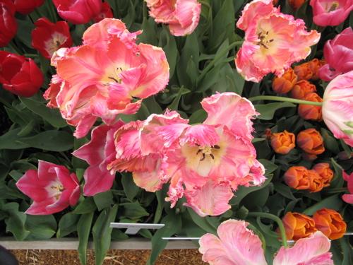 ruffledpinktulips2.jpg