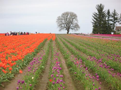 tulipfields5.jpg