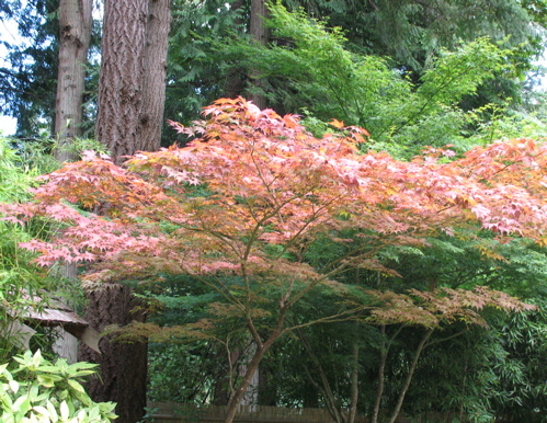 bgjapanesemaple.jpg