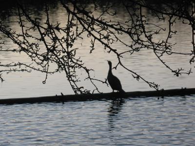 cormorantsilhouette.jpg