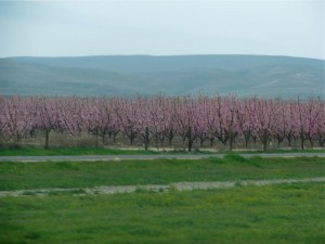 orchardblossoms
