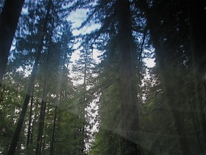 redwoodsthruwindshield