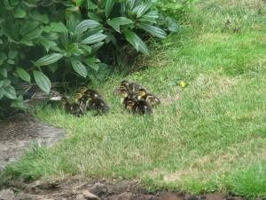 duckingundercover