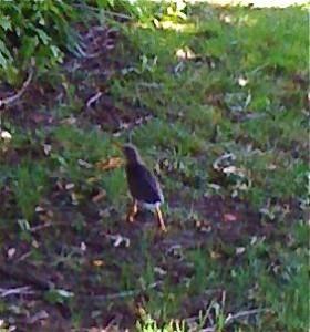 downylittlebird