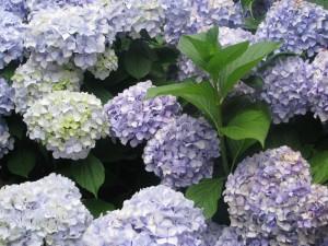 lavendarhydrangeas