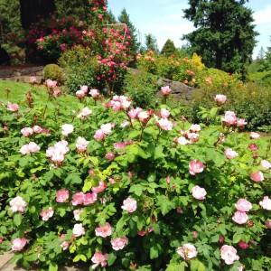 rosesgalore