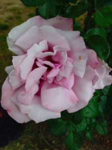 rosegarden7